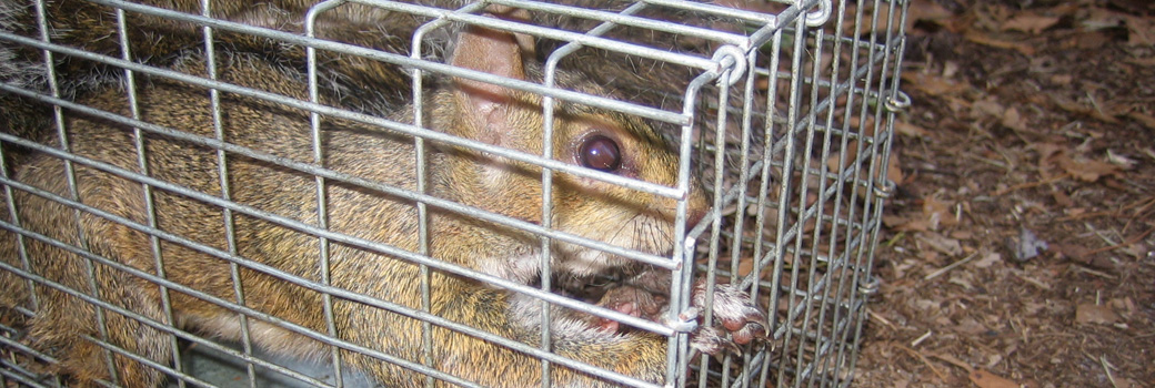 Killing a caged squirrel